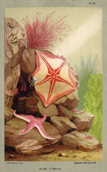 image of starfish from the aquarium by p. h. gosse