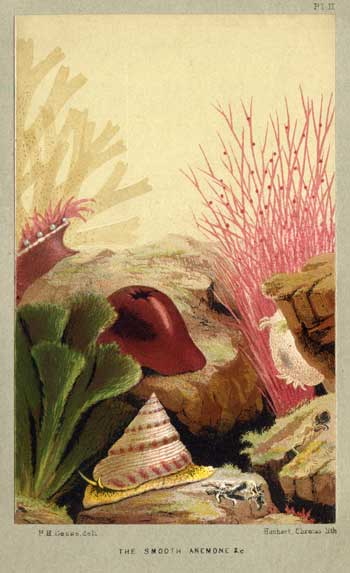 image of a beadlet anemone from the aquarium by p. h. gosse
